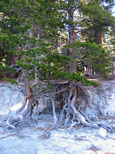 Photo: more normally-submerged tree roots