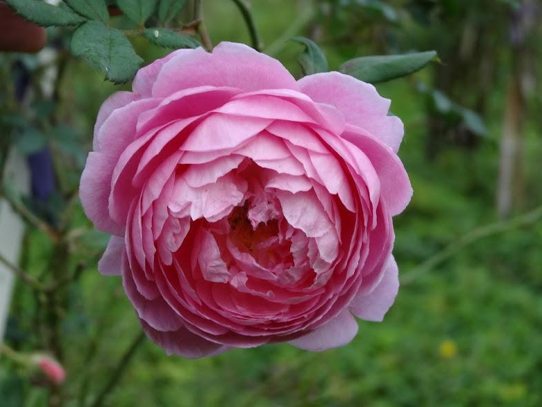 Những bông hồng Huntington Rose trồng nơi ít nắng có xu hướng khum lại