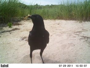 Photo: Edgartown Great Pond Crows eating otter leftovers (crab)
