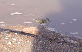 Photo: Least Sandpiper