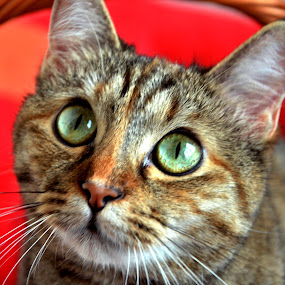 by Dorian Radu - Animals - Cats Portraits ( #GARYFONGPETS, #SHOWUSYOURPETS )