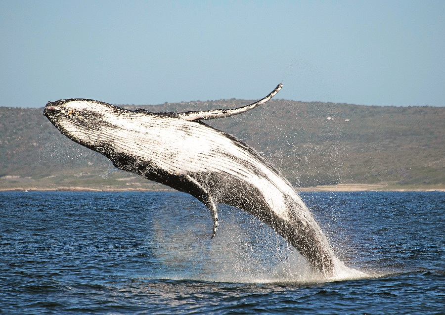 Saving the whales, not planting trees, could arrest climate change