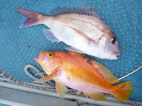 Photo: 真鯛とアカイサキ。