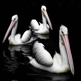 Pelican Dancer 2 by Putra Bustami - Animals Birds