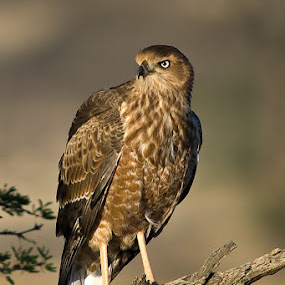 Snake eagle by Bostjan Pulko - Animals Birds ( south africa, kalahari )