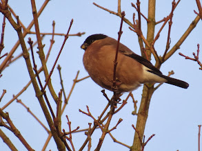 Photo: Priorslee Lake Yesterday it was a male: today managed to capture a female Bullfinch eating buds. (Ed Wilson)
