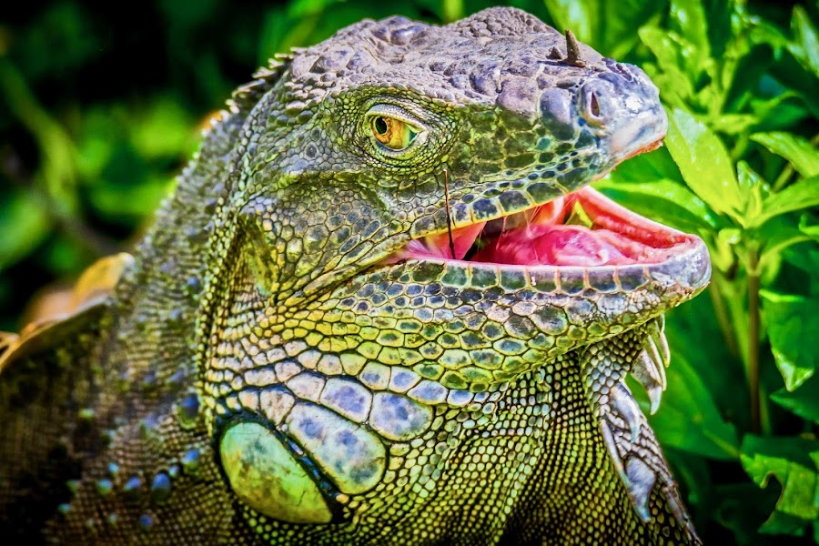 Yummy Leaves  by Ken Nicol - Animals Reptiles (  )