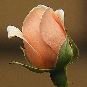 by Clare Draper - Flowers Flower Buds