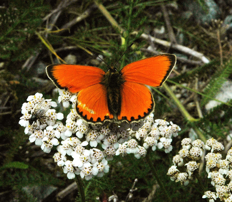 Ali color arancio di benny48