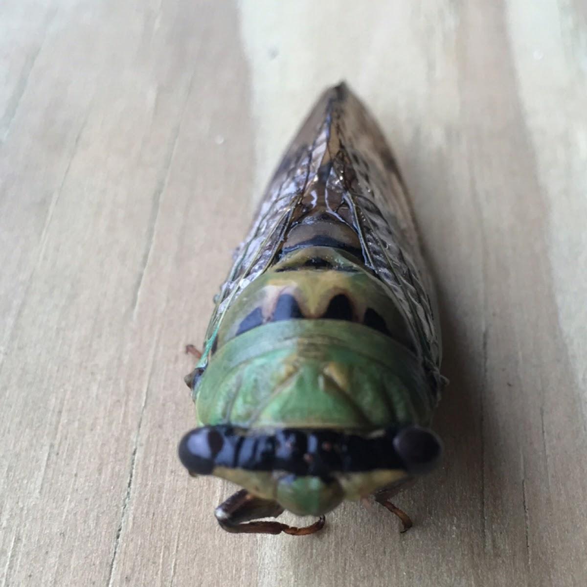 Cicadas, dog day cicada, dog day harvest fly