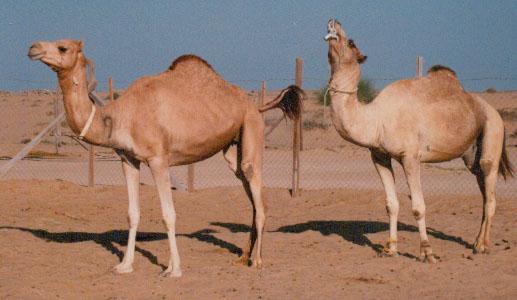Comportamiento de estro en el dromedario hembra. Nótese la cola levantada y la reacción flehmen del macho después de oler la orina y la vulva de la hembra.