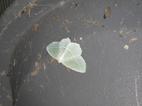Photo: 15 Jul 13 Priorslee Lake: A Light Emerald moth on one of the lamps: new for the year. (Ed Wilson)