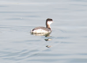 Photo: Horned grebe near Broughton beach