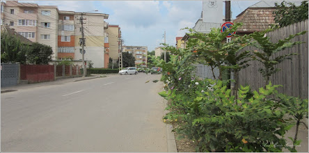 Photo: Stejar de carmaz (Quercus coccifera akseki) - din Turda, de pe Str. Mihai Viteazul - 2018.08.02