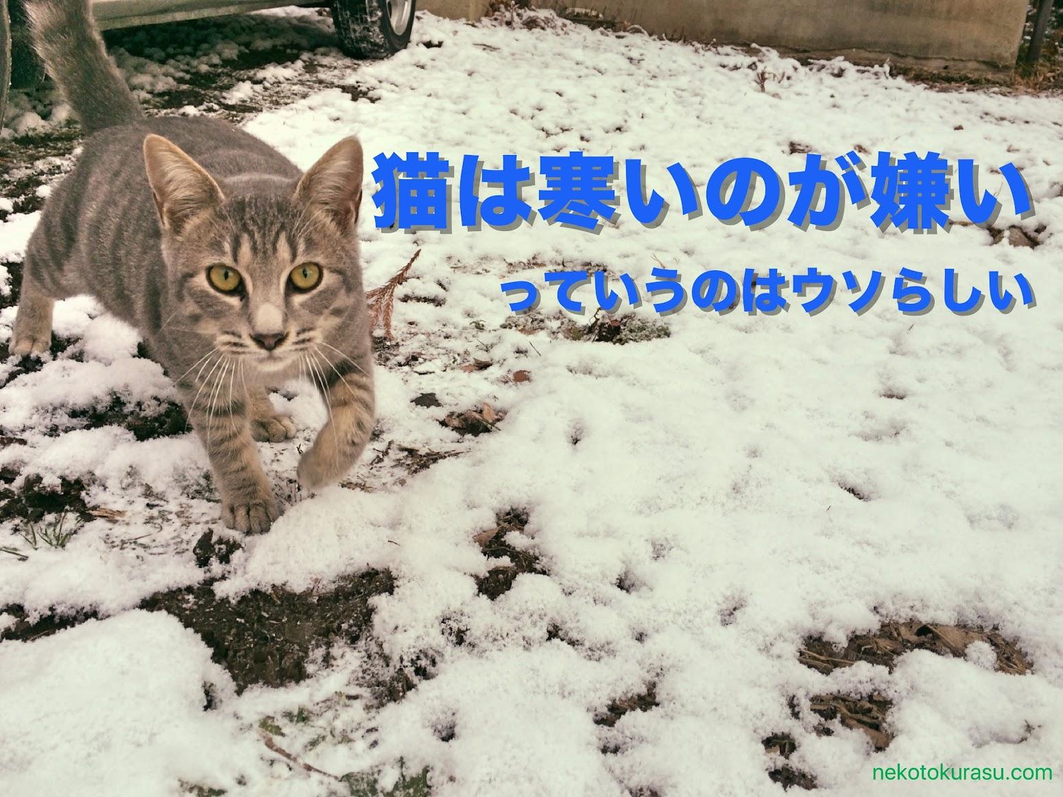 猫の雪遊び 猫は寒いのが嫌い というのは 嘘 らしい