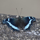 Blue Admiral