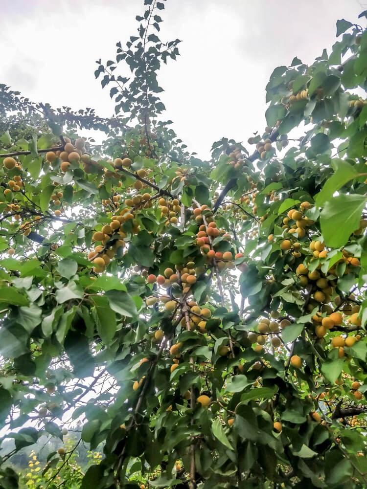apricot+near+manali+shimla+kullu+himachal+pradesh