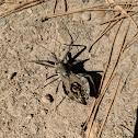 Wheel Bug (Assassin Bug)