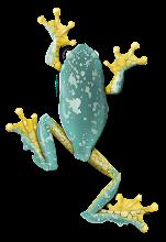 Photo: Cruziohyla craspedopus, Finged leaf frog