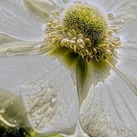 white flower by Fabienne Lawrence - Uncategorized All Uncategorized ( white flower, white, nature, flower )