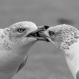 Gulls Fighting by Debbie Quick - Black & White Animals ( debbie quick, outdoors, nature, gulls, animal, black and white, wild, debs creative images, new york, hudson valley, poughkeepsie, wildlife )