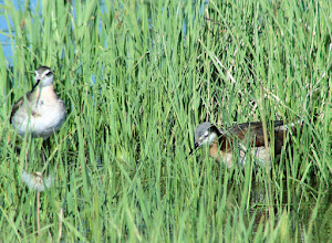 Photo: Wilson's phalarope pair in the Big Hole Valley