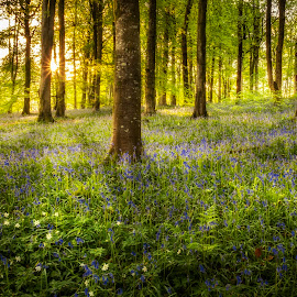 Portglenone Forest in the rays of the sun by Wojciech  Golebiewski - Landscapes Forests ( forest, flowers, sunrise, natural, nature, natural light, early, bluebells, nature photography )