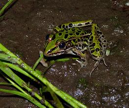 Photo: Leopard Frog