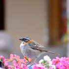 Rufus collared sparrow