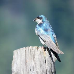 Swallow by Chris Bertenshaw - Animals Birds ( swallow, blue, bird )