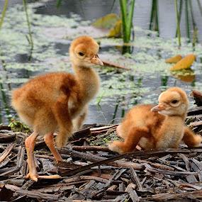 Sandhill Crane Chicks by Susan Hughes - Animals Birds ( sandhill crane )