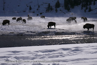 Photo: Bison in the rising mist coming of the Madison River, Yellowstone National Park, Wyoming.