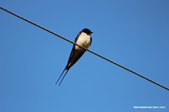 Photo: A pale male barn swallow
