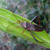 Bamboo bug