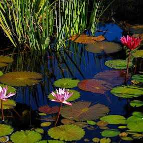 Water Lilly by Ron Olivier - Flowers Flowers in the Wild ( water lilly,  )