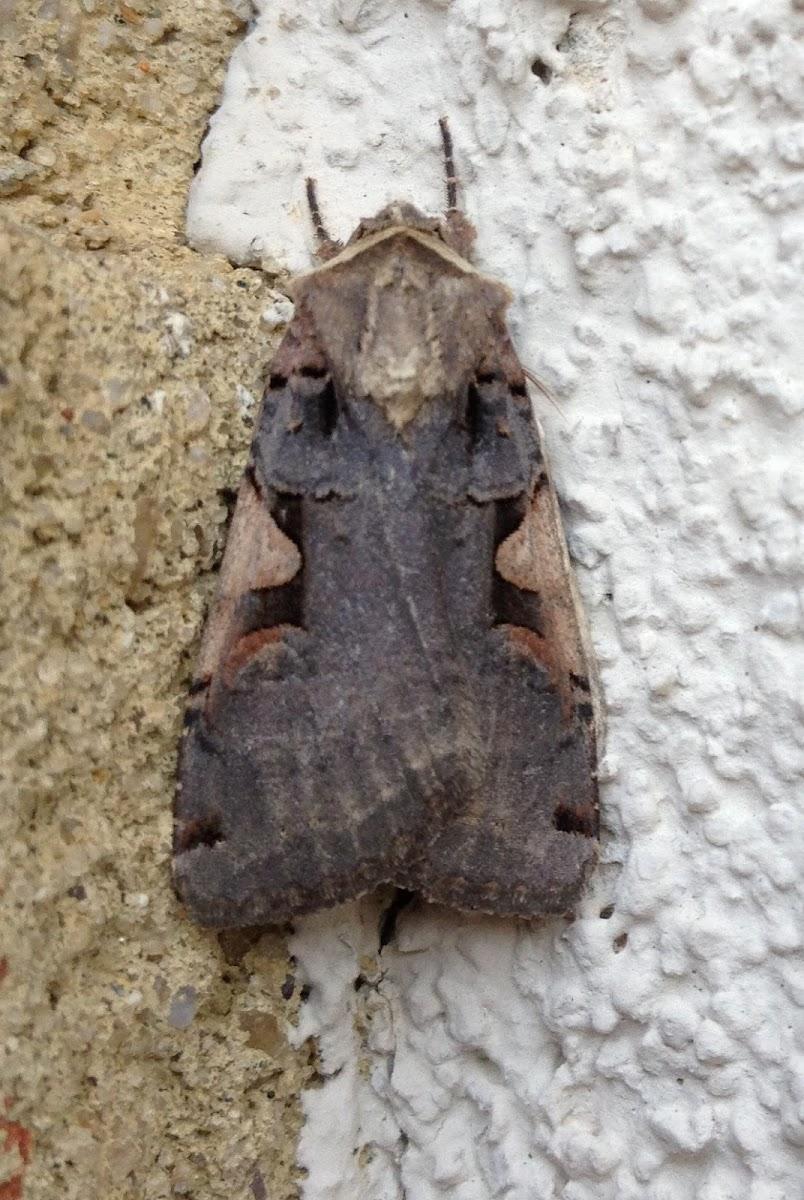 Greater Black-letter Dart Moth