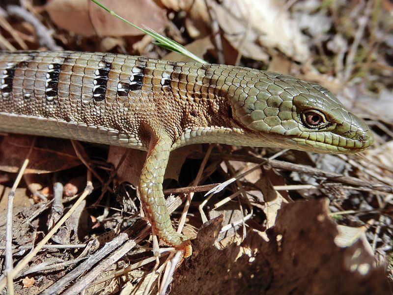 This image shows a Southern Alligator Lizard. Photo credit William Beckon.