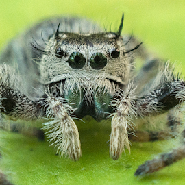Jumping Spider by Joe Saladino - Animals Insects & Spiders ( arachnid, animal, arthropod, spider )