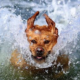 Surfs Up! by Gareth Evans - Animals - Dogs Running ( labrador, water, splash, dog )