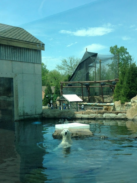 Qannik is the polar bear living at the Louisville Zoo in Louisville, KY