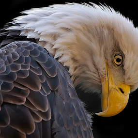 Strong by Shelly Wetzel - Animals Birds ( bird, bird of prey, eagle, bald eagle, national bird, raptor )