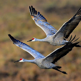 Two cranes by Ruth Overmyer - Animals Birds (  )