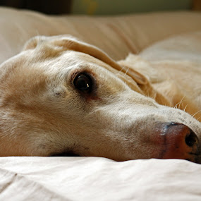 Max on Bed by Rick Touhey - Animals - Dogs Portraits ( retriever, labrador, lab, yellow lab,  )