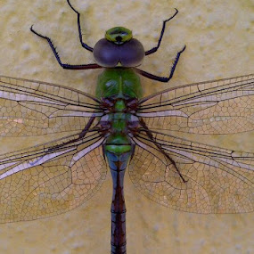 Dragonfly  by Brigitte Alex - Animals Insects & Spiders