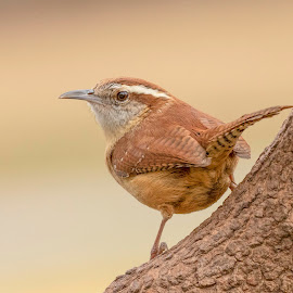 by Kathy Jean - Animals Birds ( close up, wren, bird, house wren, animal )