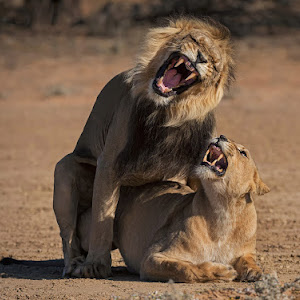 Lion mating 4.jpg