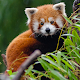 Cute Red Panda Wallpaper APK