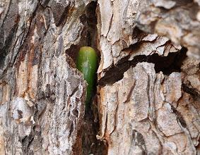 Photo: Fresh acorn stored in bark crevice in a Scotch pine, Stevens Creek County Park, Cupertino, California