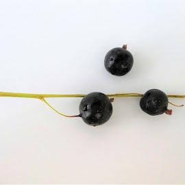 The three blackberries by Svetlana Saenkova - Food & Drink Fruits & Vegetables ( blackberries, black and white, three,  )
