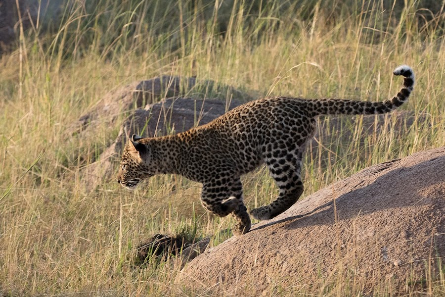 Adolescent Leopard  by VAM Photography - Animals Lions, Tigers & Big Cats ( nature, serengeti, adolescent, tanzania, leopard, animal,  )